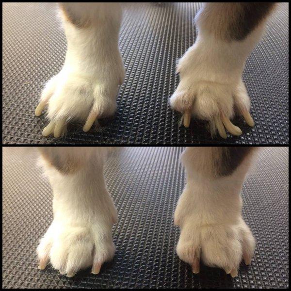 Corgi nails before and after grinding!