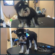 Reggie the Mini Schnauzer's first haircut! Look at those adorable ears!!