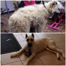 Baco the Bouvier - from badly matted to practical and comfortable!