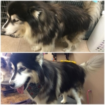 Diesel lost probably 10lbs of hair during his groom!