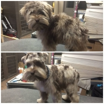 Oscar's first haircut! Isn't his coloring so unique?! We've never seen a merle Mini Schnauzer before and he was soooo cute!