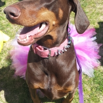 Brieanna's dog Tanner at Woofstock 2014