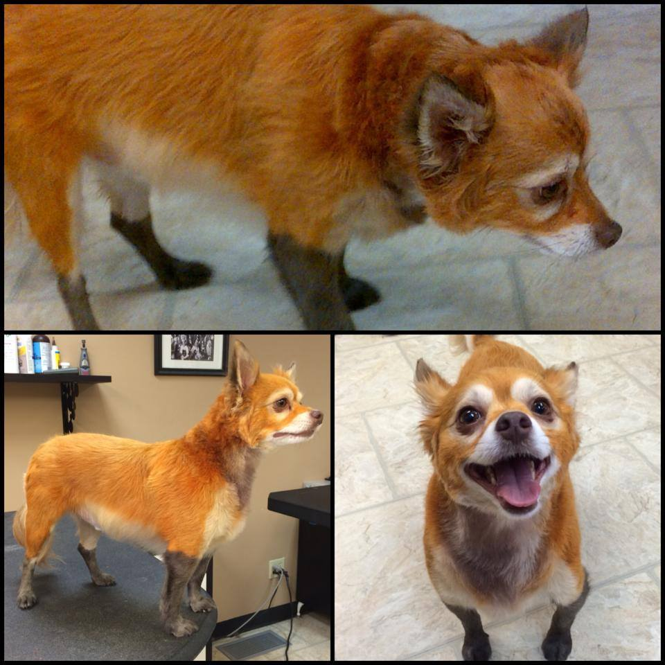 We dyed Dwight like a FOX!!!!!